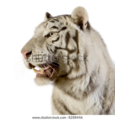 White Tiger in front of a white background