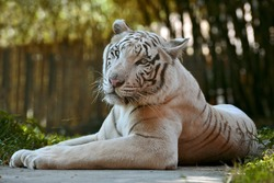 White tiger in the Bali Zoo