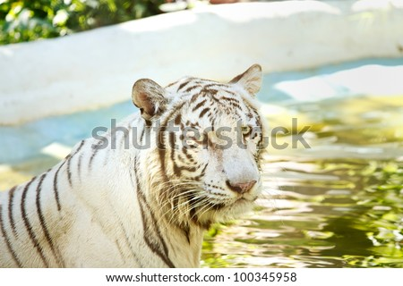 white tiger  in the pond ,thailand