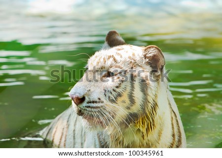 white tiger  in the pond ,thailand - stock photo