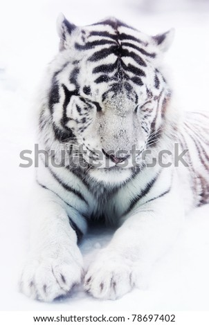 White tiger in winter