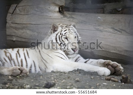 white tiger in zoo #55651684