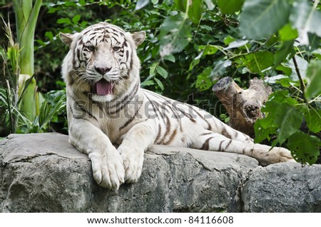 white tiger in zoo - stock photo