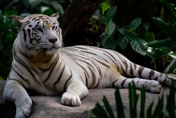 White Tiger is a Bengal Tiger with very rare, creamy white fur; blue eyes; and gray or brownish stripes. It is not a special kind of Tiger or an Albino Tiger.