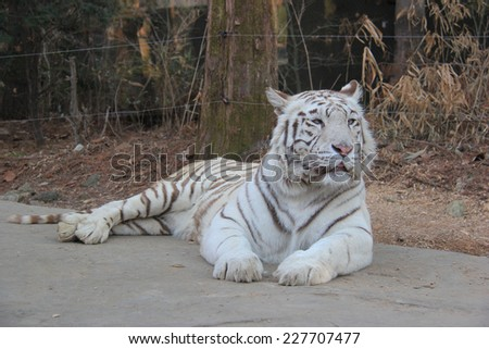 White tiger is laying down on the street. #227707477