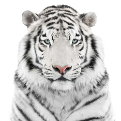 White tiger isolated on white background