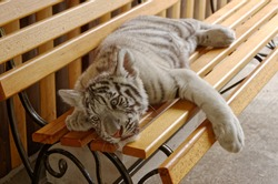 White tiger lies on a bench. The white tiger is a pigmentation variant of the Bengal tiger.