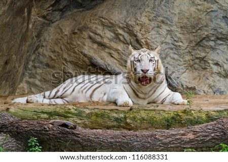 white tiger lying in the park