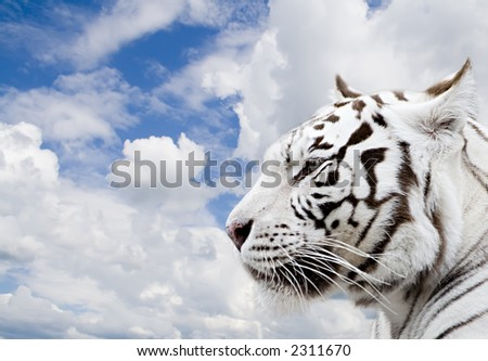 White tiger on a background of the blue sky with clouds