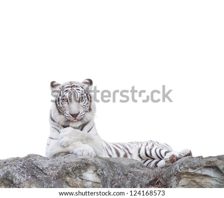 WHITE TIGER on a rock over white background.