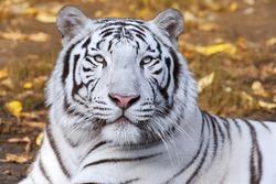 White tiger on autumn background.
