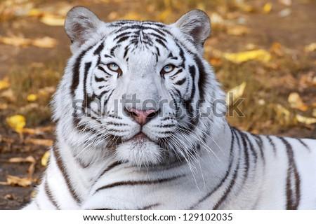 White tiger on autumn background