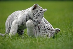 WHITE TIGER panthera tigris, CUB PLAYING ON GRASS