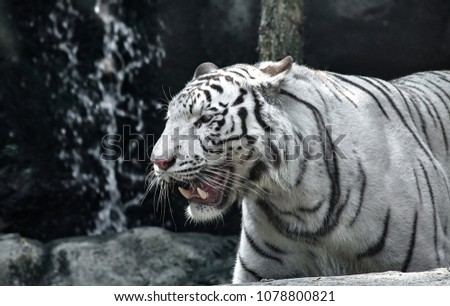 White Tiger (Panthera tigris tigris), also known as White Bengal Tiger #1078800821