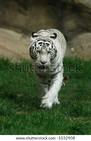 White tiger (Panthera tigris tigris), Indian people think that a meeting with white tigers brings a good luck.
