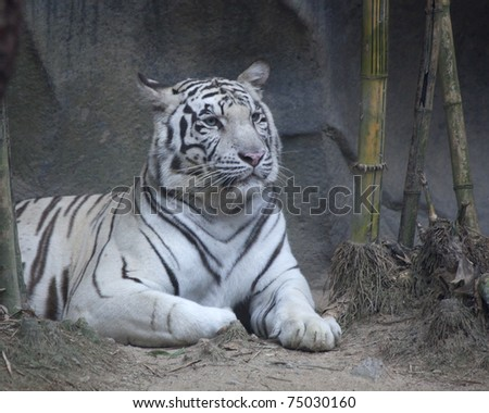 White tiger photo #75030160