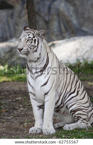 white tiger sitting in an open field.