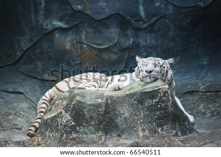 White tiger sleeping
