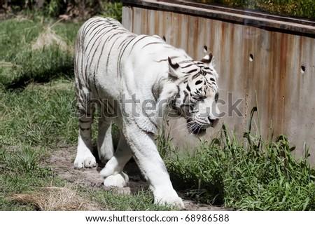 white tiger stalking its prey