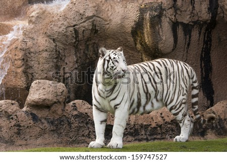 White tiger standing infront of cliff  #159747527