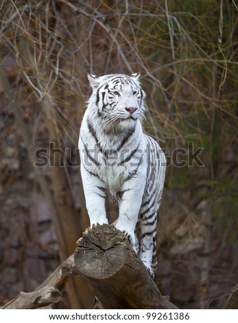 White tiger standing on a log