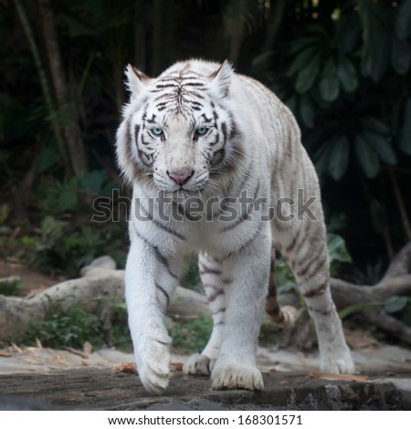 White tiger walking #168301571