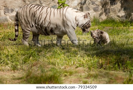 white tiger with her baby animals
