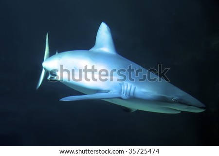 white-tip reef shark