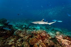 white tip reef shark swims over hard coral on reef closeup