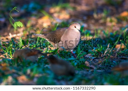 White tipped Dove photographed in Corumba, Mato Grosso do Sul. Pantanal Biome. Picture made in 2017.