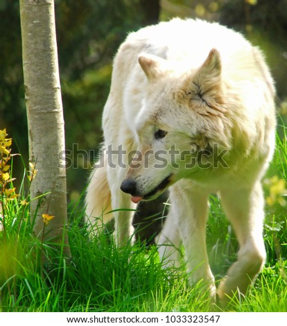 White toned Gray wolf walking with head down turned to the side among grass with some yellow flowers