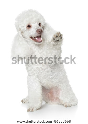 White Toy Poodle gives that a paw on white background