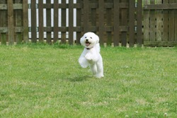 White toy poodle playing in the garden
