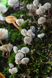 White translucent striated gills of Trogia fungi growing on dead wood in temperate rainforest along Bola Creek, Sydney, NSW, Australia