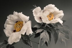 white tree peonies, two flowers on a gray background.