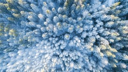 White trees in forest covered with snow aerial top view. Winter christmas background. White and snowy pines from above.