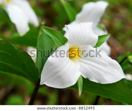 White Trillium blooming in woodlands Ontario provincial flower