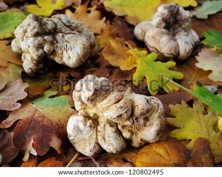 white truffles on fallen leaves