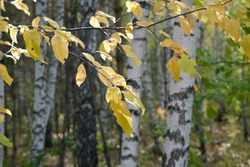 White-trunk birches in the autumn forest on a sunny day.