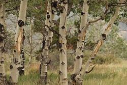 White trunks of an aspen grove