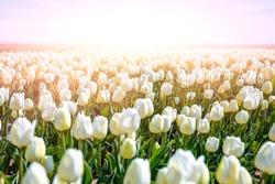 white tulip field