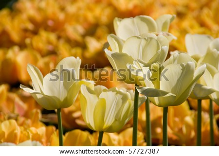 White tulip flowers open and blooming in a garden