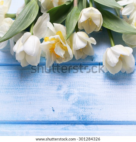 White tulips and narcissus flowers  on blue  painted wooden background. Selective focus. Place for text. Square image.