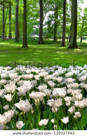 White tulips in the park. Spring landscape. #132027983
