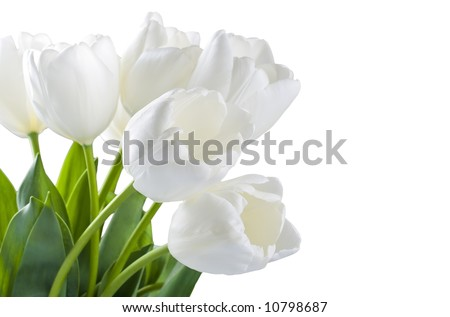White tulips isolated over white background