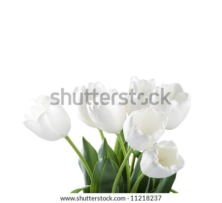 White tulips isolated over white background