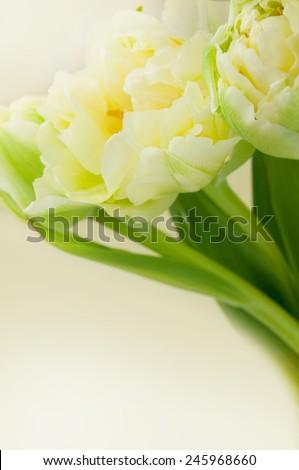 White tulips. \