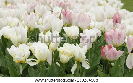 white tulips, netherlands, close up of white and pink tulips at important flower park in netherlands, shot in springtime at blossoming peak