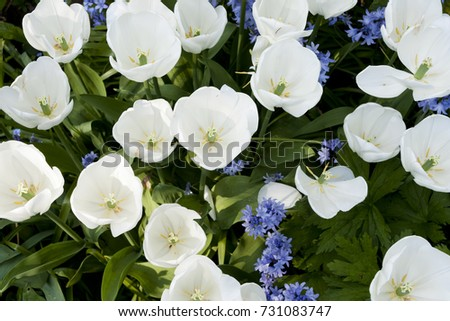 White Tulips With Blue Bell Shaped Flowers And Green Foliage Ez Canvas