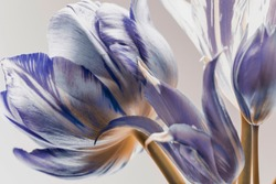 white tulips with blue stripes on the petals. abstract composition on a white background.